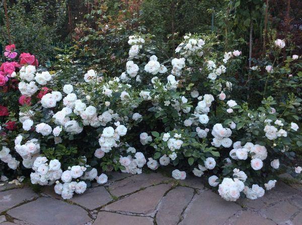 Не допускайте этих ошибок в уходе за розами