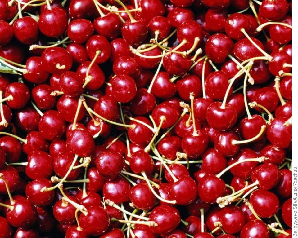 Щедрая — зимостойкий и урожайный сорт степной вишни