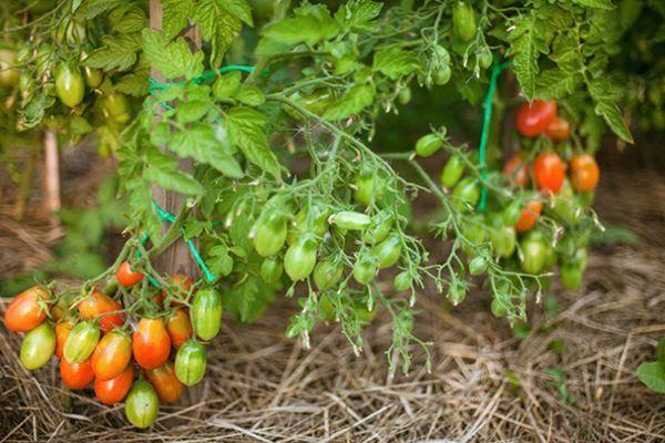 Описание сорта томата Баттерфляй, его характеристика и урожайность