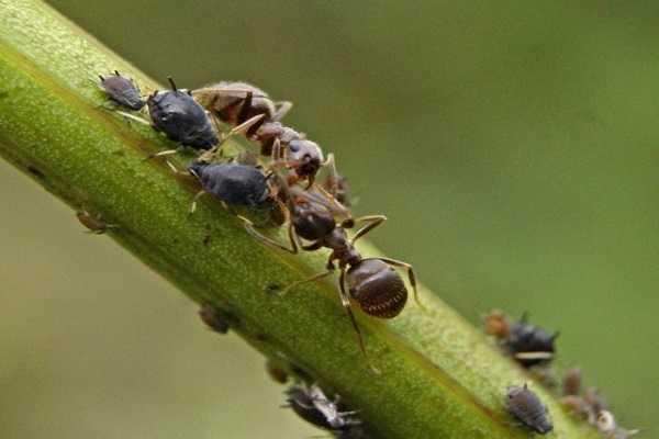 Как избавиться от муравьев в теплице с огурцами: что делать?