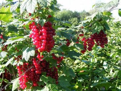 Топ 50 лучших сортов красной смородины с описанием и характеристиками