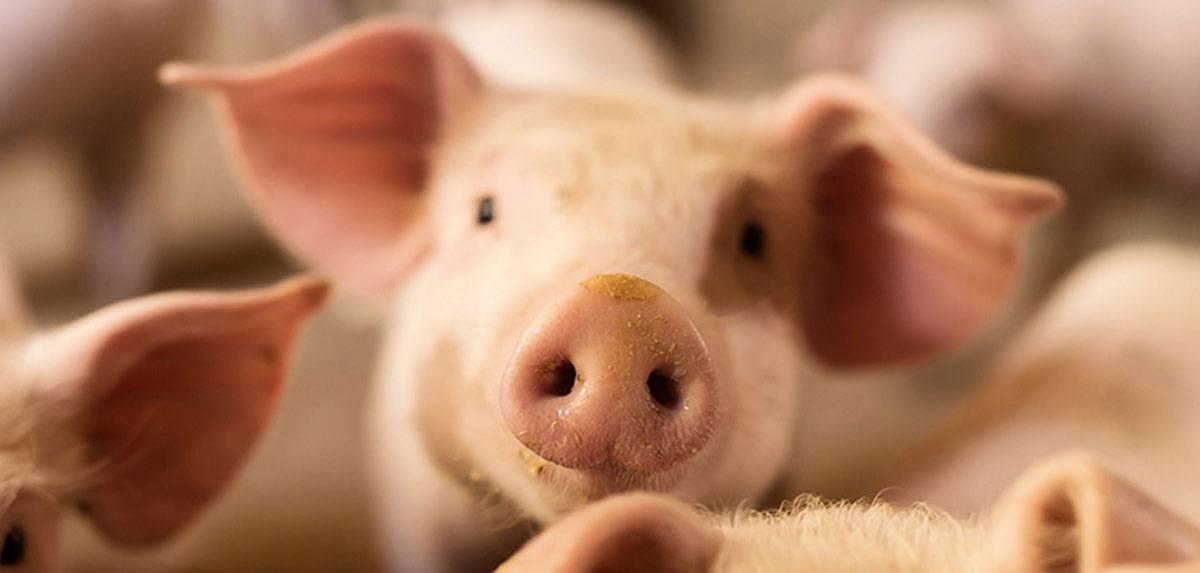 Пастереллез свиней симптомы и лечение
