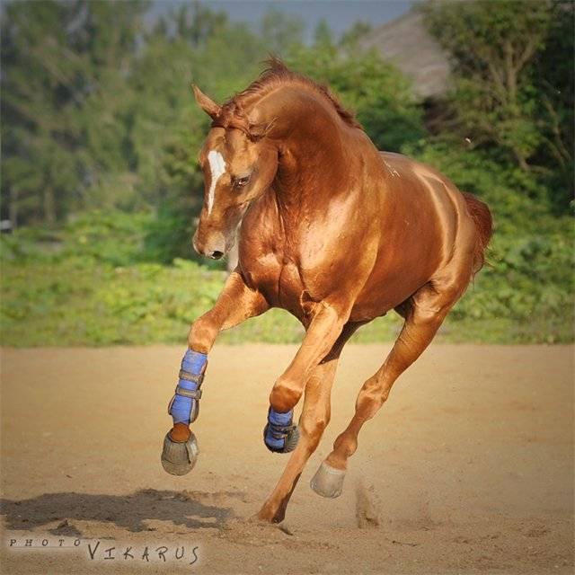 Верховая буденновская лошадь: особенности и применение породы