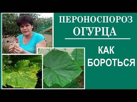 Белеют листья у огурцов: причины и методы их устранения