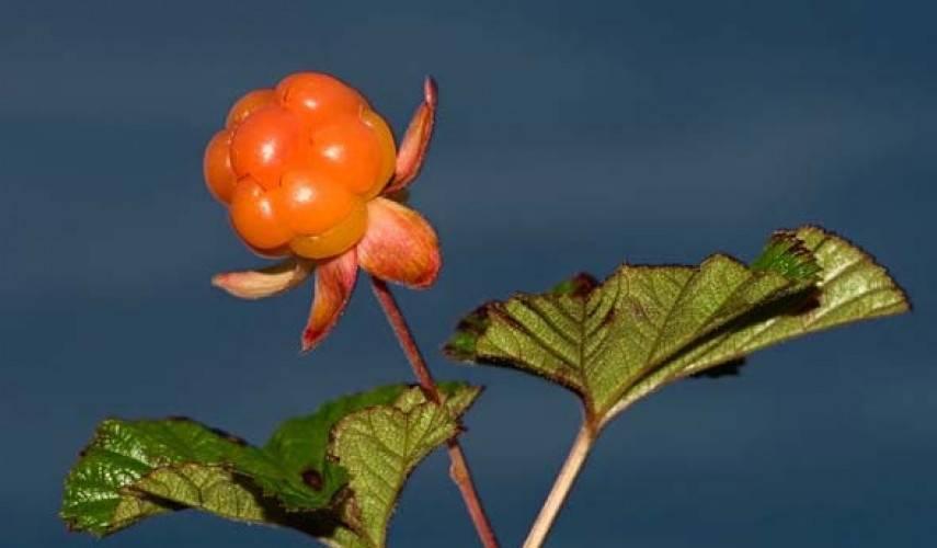 Как выращивать розмарин: посадка и уход, особенности выращивания, фото