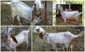 Окситоцин для свиней