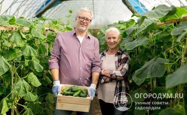 Огурец «амур f1» — голландский высокоурожайный хрустящий скороспел
