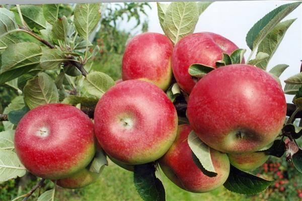 Долговечная яблоня макинтош: описание, фото, отзывы