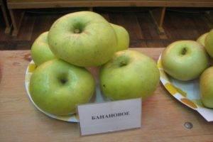 Позднезимняя яблоня россиянка
