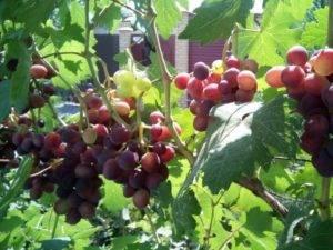 Виноград заря несветая: описание, фото, видео и отзывы