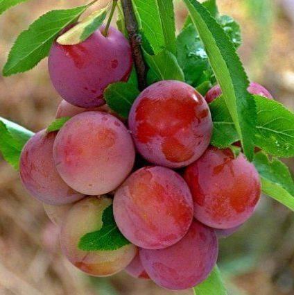Описание сорта и видов сливы уссурийской, отличительные особенности и выращивание