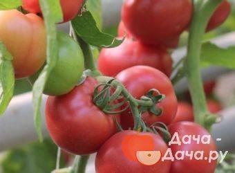 Описание томатов пинк парадайз