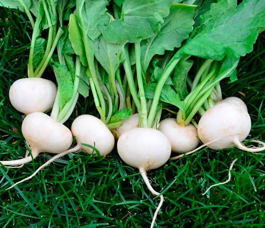 Когда сажать черную редьку: сроки посева и правила выращивания