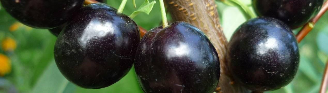 Гибриды вишни: советы по выращиванию и скрещиванию