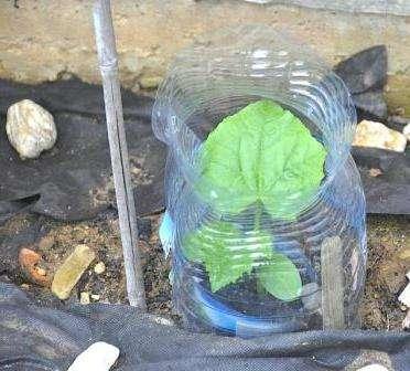 Как посадить и выращивать огурцы в пластиковых пятилитровых бутылках