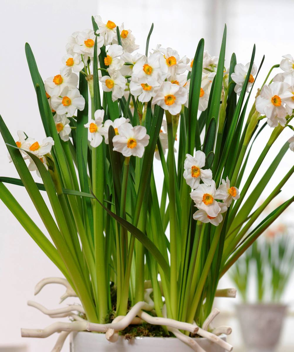 Нарциссы: посадка и уход, особенности размножения