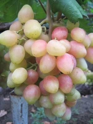 Виноград «ляна» — сорт с высокой засухоустойчивостью
