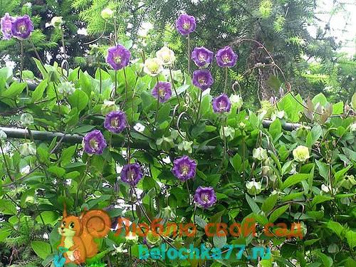 Кобея: выращивание из семян, посадка и уход