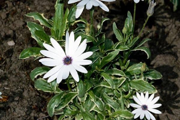 Остеоспермум выращивание и уход в открытом грунте и размножение