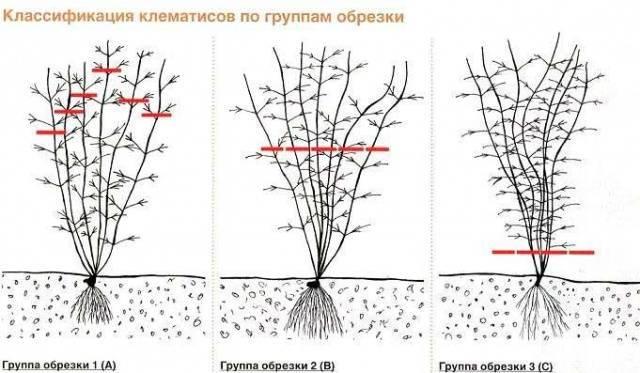 Растение клематис: описание, уход и выращивание