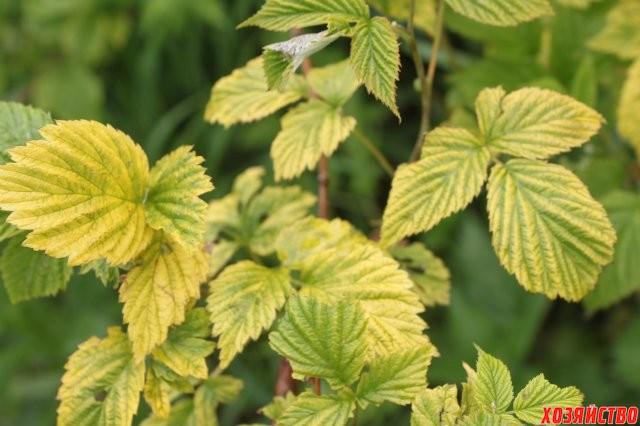 Основные причины пожелтения листьев у малины