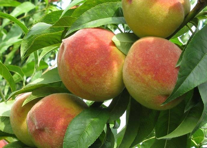 Самые лучшие сорта персиков с фото и описанием