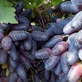 Описание сорта винограда голд фингер