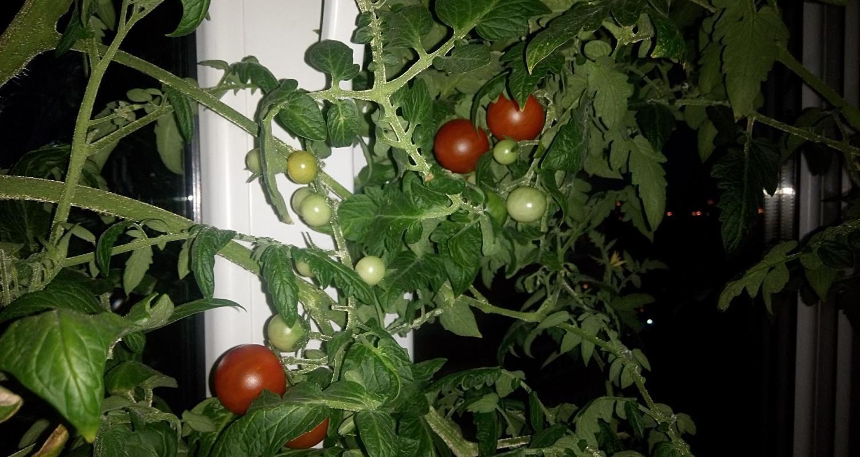 Сорт черри помидор «дюймовочка»