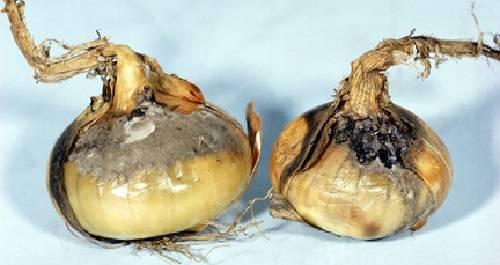 Вредители лука репчатого и борьба с ними