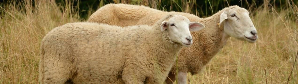 Родоначальник домашних овец