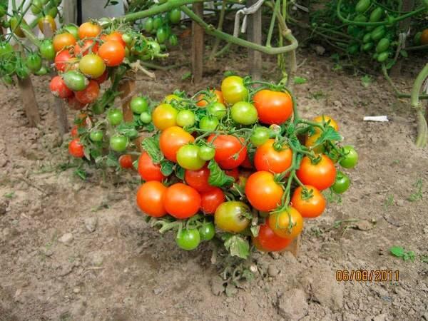Яркие бусы на кустах — миниатюрный томат «пиноккио»: выращиваем на участке и дома на балконе