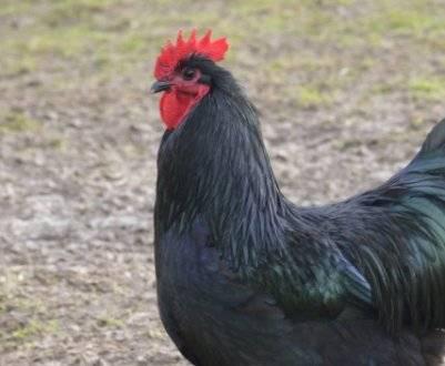 Характеристики и описание породы кур ухейилюй, содержание и яйценоскость