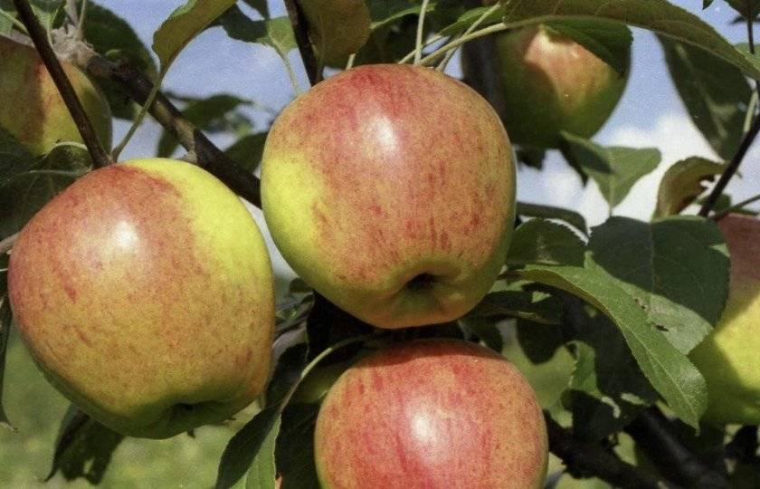 Яблоки чемпион — когда созревает сорт, описание яблони