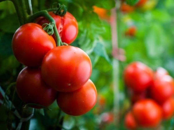 Характеристика и описание сорта томата пинк парадайз, его урожайность