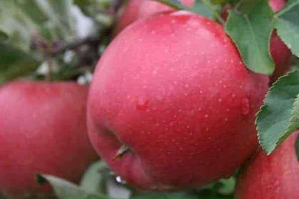 Удачная яблоня дачное