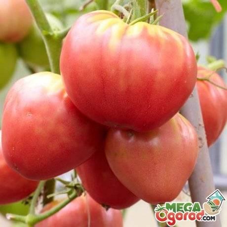 Выращивание в открытом грунте и теплицах помидоров бычье сердце