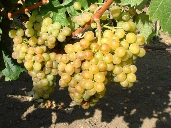 Описание гибридных сортов винограда Жемчуг Черный, Розовый, Белый и Саба