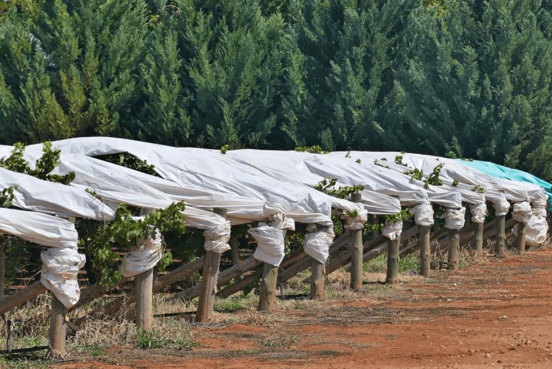 Как укрыть молодой виноград на зиму