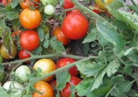 Низкорослые помидорчики сорта рома можно выращивать даже на подоконнике