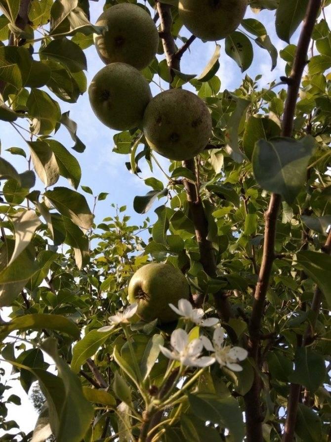 Первое плодоношение вишни после посадки
