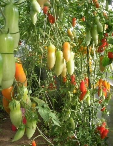 Томат фляшен — описание сорта, фото, урожайность и отзывы садоводов