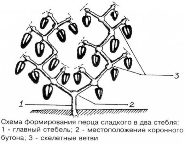 Формирование перца в теплице и открытом грунте: инструкция