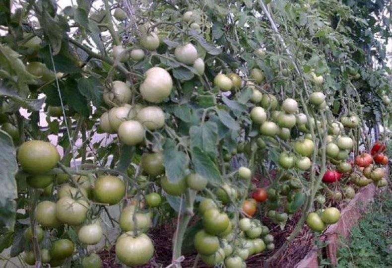 Вкусные и полезные японские помидоры пинк парадайз: особенности выращивания в теплице