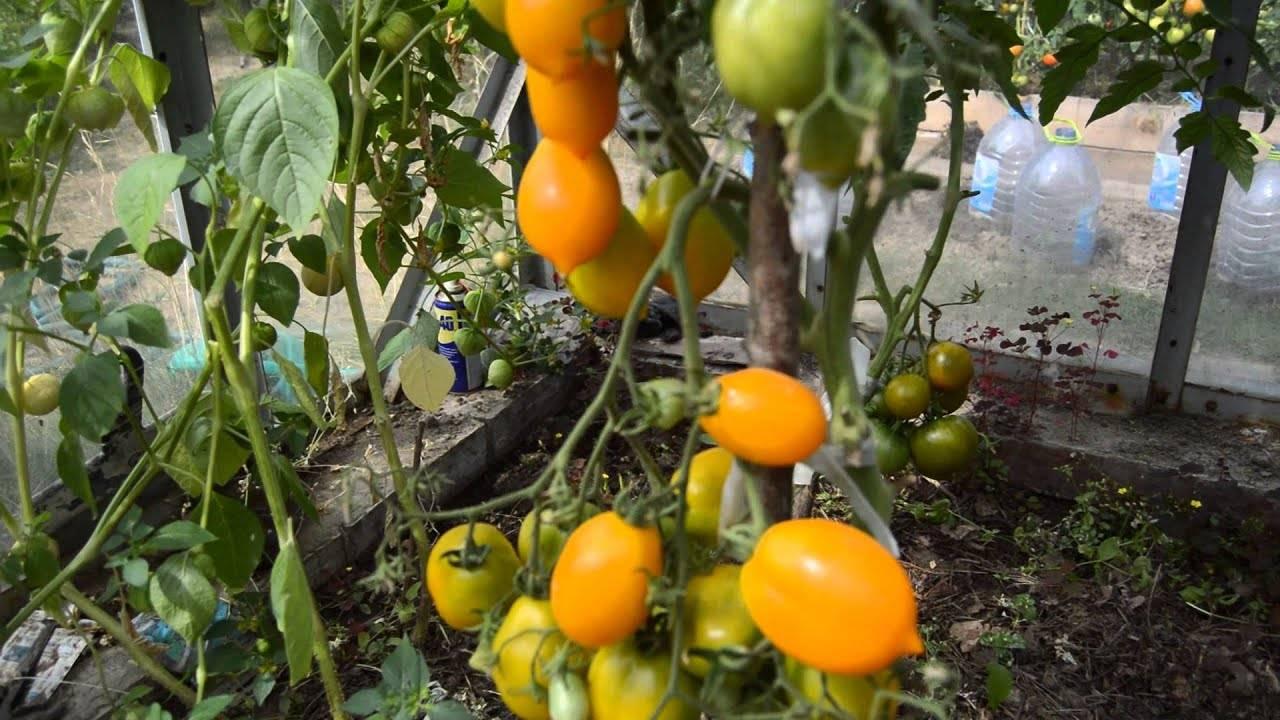 Характеристика и описание сорта томата Чудо рынка, его урожайность