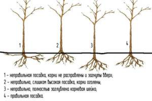 Лучшие сорта слив для ленинградской области