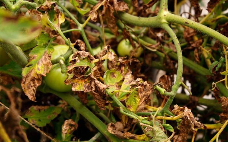 Альтернариоз томатов и методы борьбы
