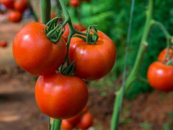 Описание урожайного сорта томата тести f1 и его выращивание