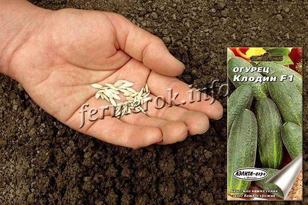 Огурец клодин f1 — описание и характеристика сорта