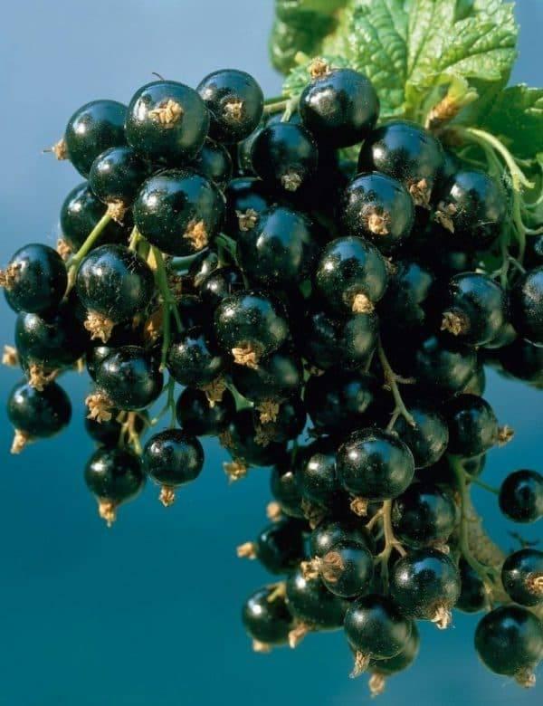 Смородина зеленая дымка: описание сорта и характеристики, посадка и уход с фото