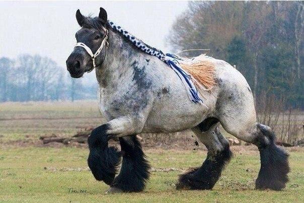Названия пород лошадей тяжеловозов, их описание и характеристика, где применяют